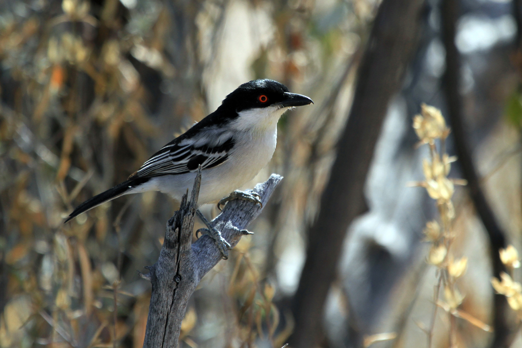 Black-backed Puffback / Erongo Wilderness Camp, Central Namibia