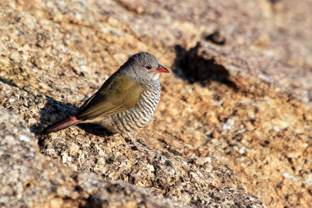Green-winged Pytilia – female / Erongo Wilderness Camp, Central Namibia
