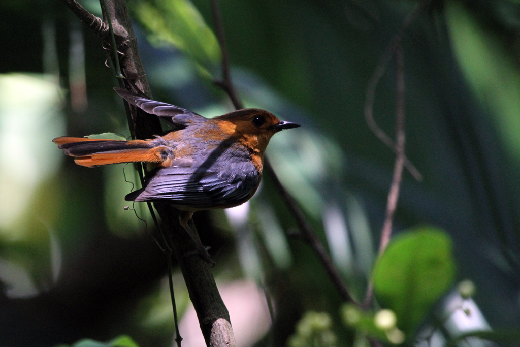 Red-capped Robin-chat / Ballito, South Coast, KZN, South Africa