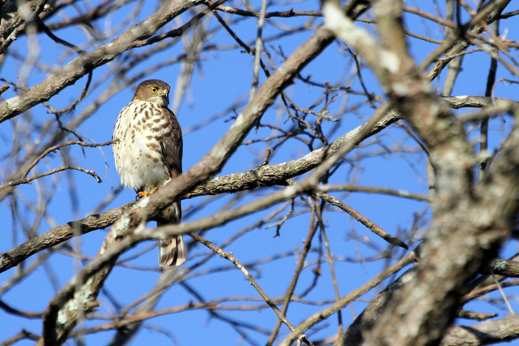 Little Sparrow-hawk / Ndumo Game Reserve, South Africa