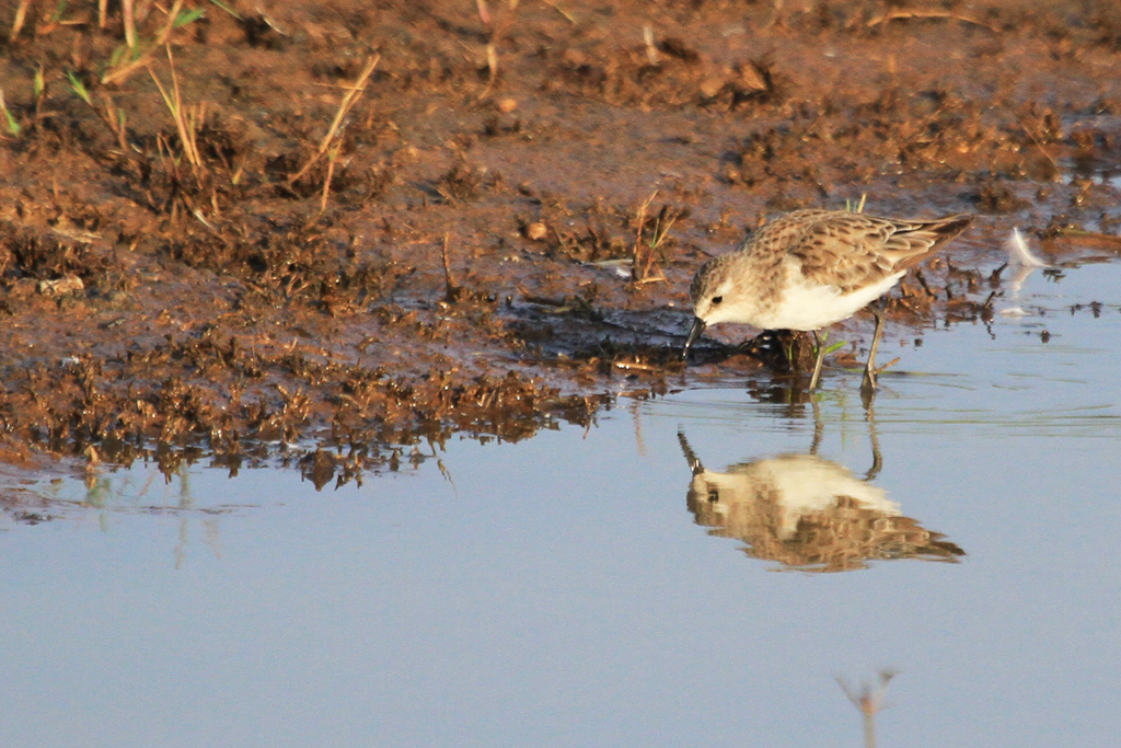 Little Stint / Kgomo Kgomo, South Africa / 20 November 2012