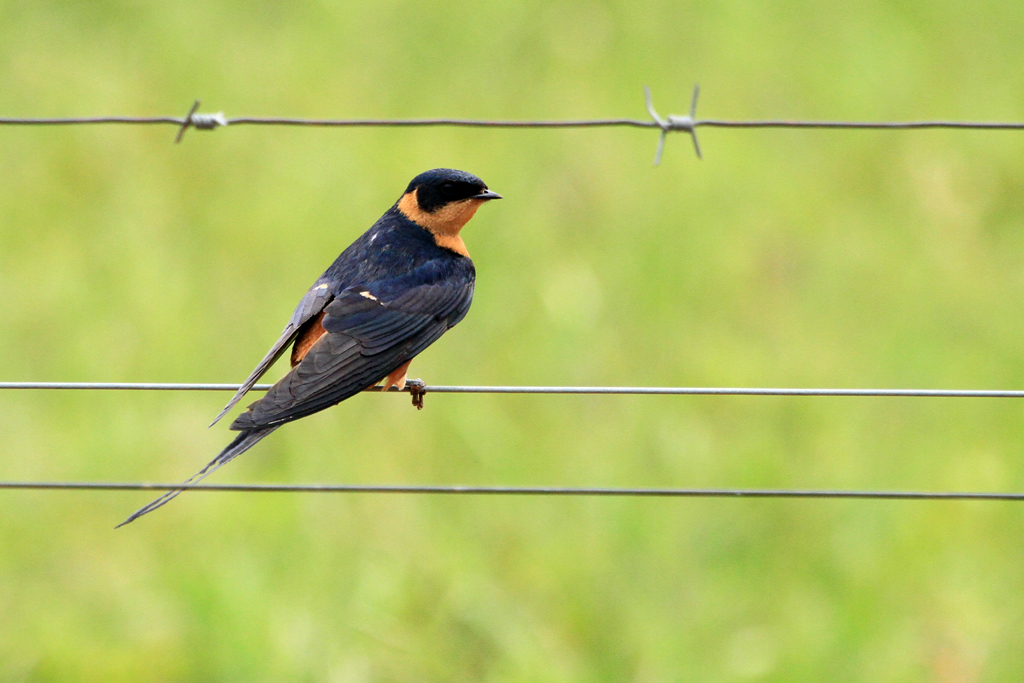 Red-breasted Swallow / Kgomo Kgomo, South Africa