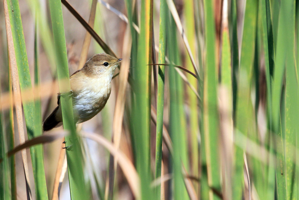 African Reed Warbler / Marievale Bird Sanctuary, South Africa