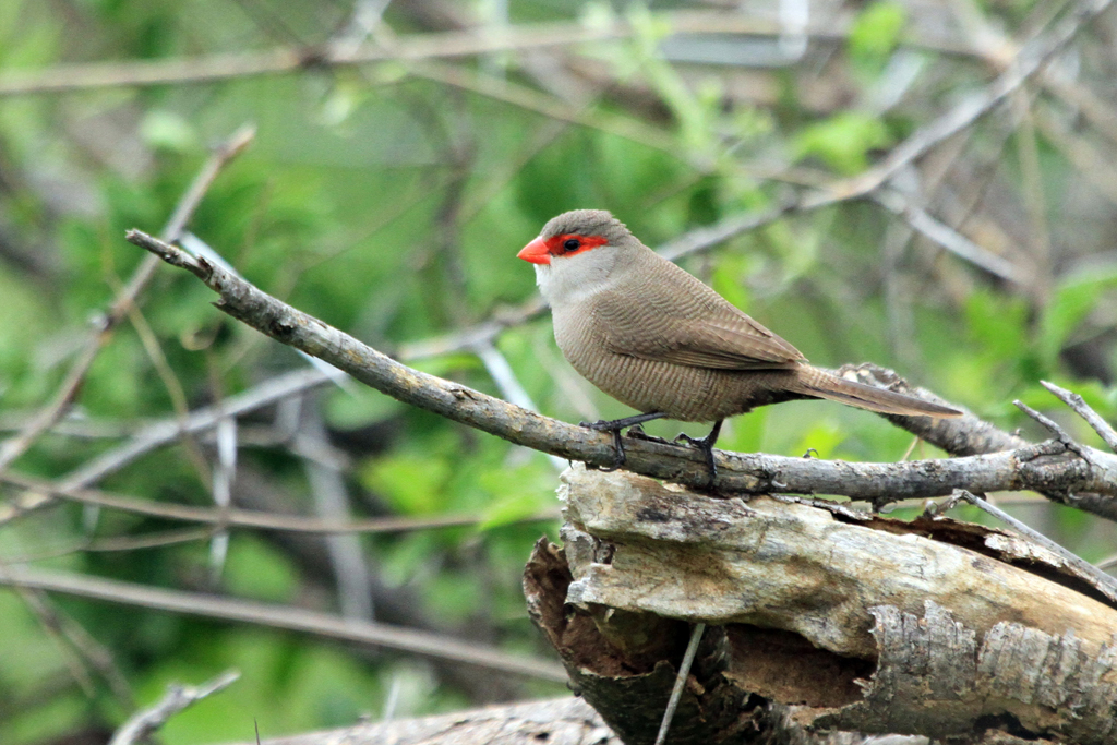 Common Waxbill / Zaagkuildrift to Kgomo Kgomo, South Africa / 30 November 2012
