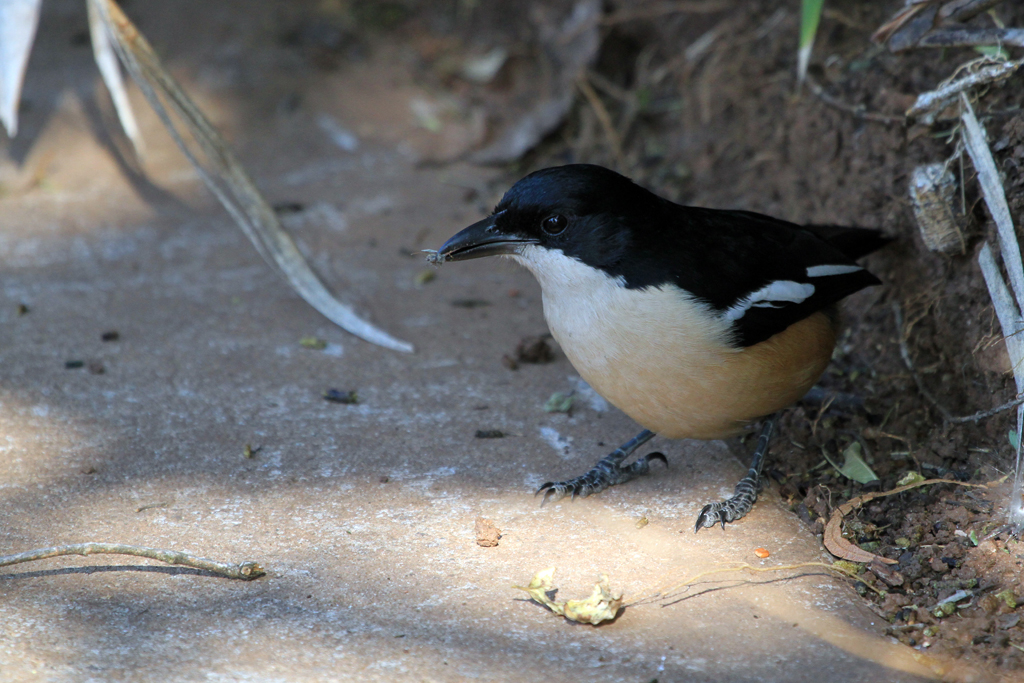Southern Boubou / Walter Sisulu Botanical Gardens, Roodepoort, South Africa / 26 May 2012