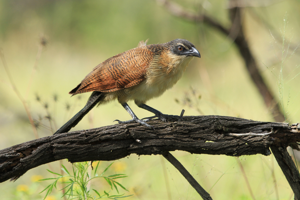 Burchell's Coucal – juvenile / Mkhombo Dam Nature Reserve, South Africa / 11 January 2013