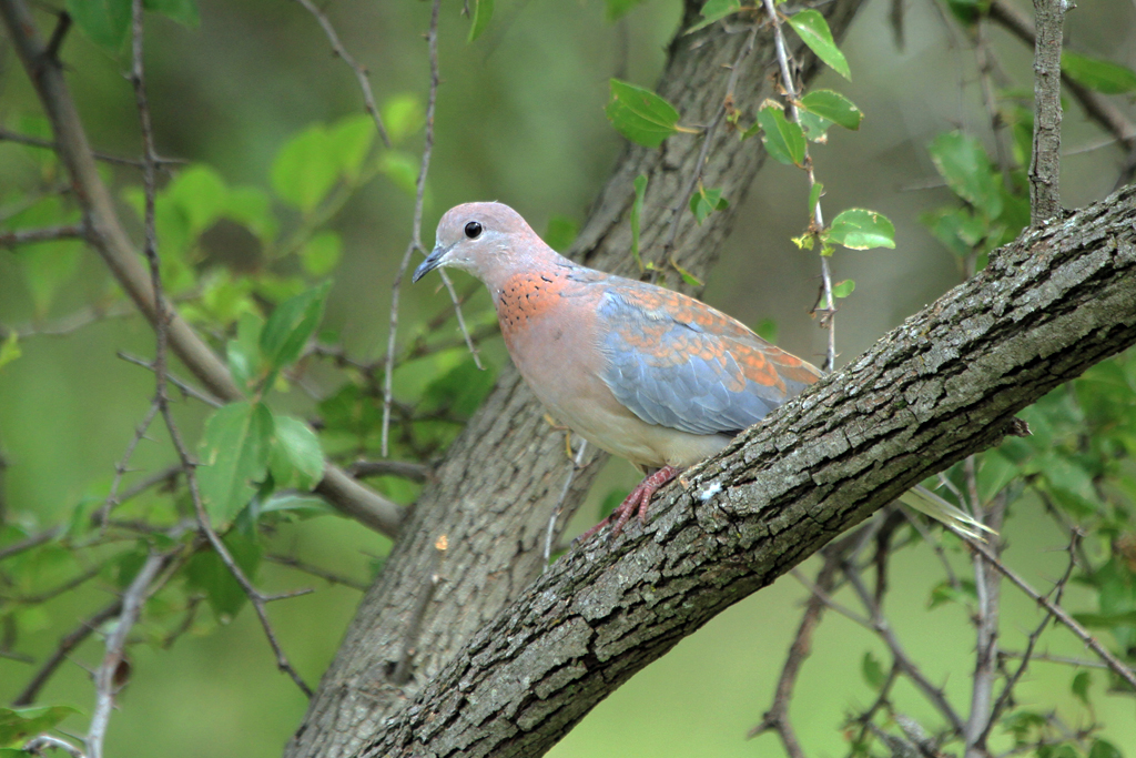 Laughing Dove / Mkhombo Dam Nature Reserve, South Africa / 11 January 2013