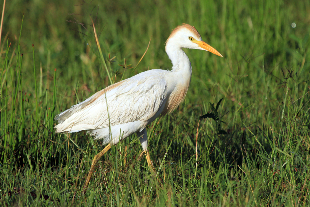 Cattle Egret / Mkhombo Dam Nature Reserve, South Africa / 11 January 2013