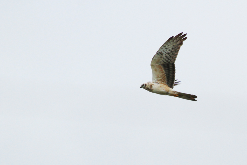 Pallid Harrier – sub adult / Klippan Link, Devon, South Africa / 19 January 2013