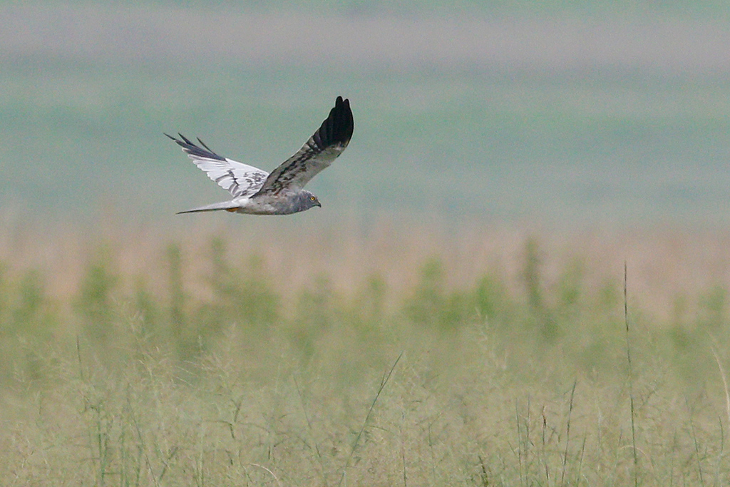 Montagu's Harrier / Eendracht Road, Suikerbosrand, South Africa / January 2016