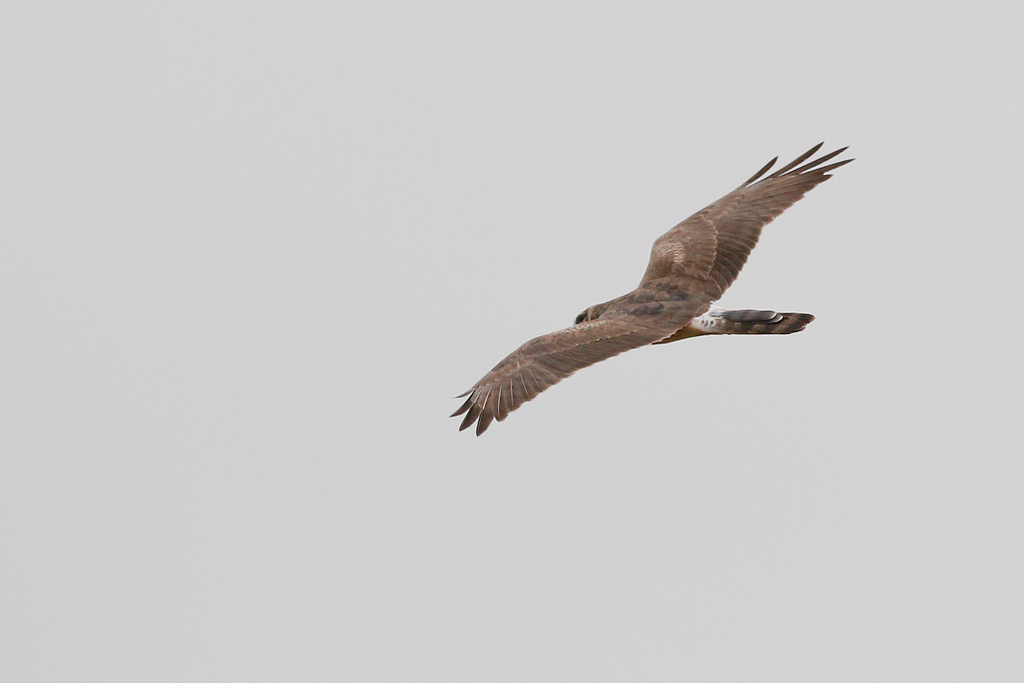 Montagu's Harrier / Devon Roadside Routes, South Africa / 15 February 2015