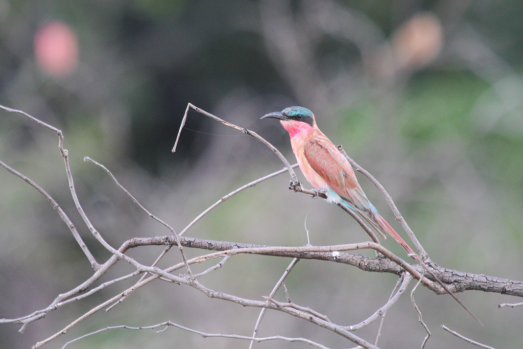 Southern Carmine Bee-eater / Northern Kruger National Park / February 2012
