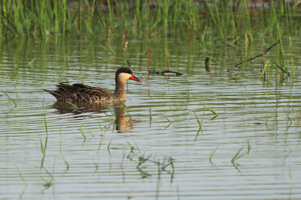 Red-billed Teal / Kgomo Kgomo, South Africa / 11 January 2013
