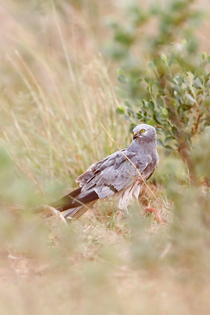 Montagu's Harrier / Vlaklaagte Roadside Routes, South Africa / 11 January 2020