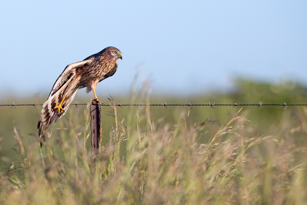 Montagu's Harrier / Devon Farmlands, Gauteng, South Africa / February 2019