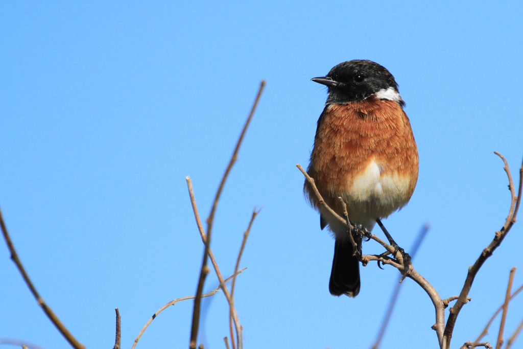 Common Stonechat / Rietvlei Nature Reserve, South Africa / 02 February 2013