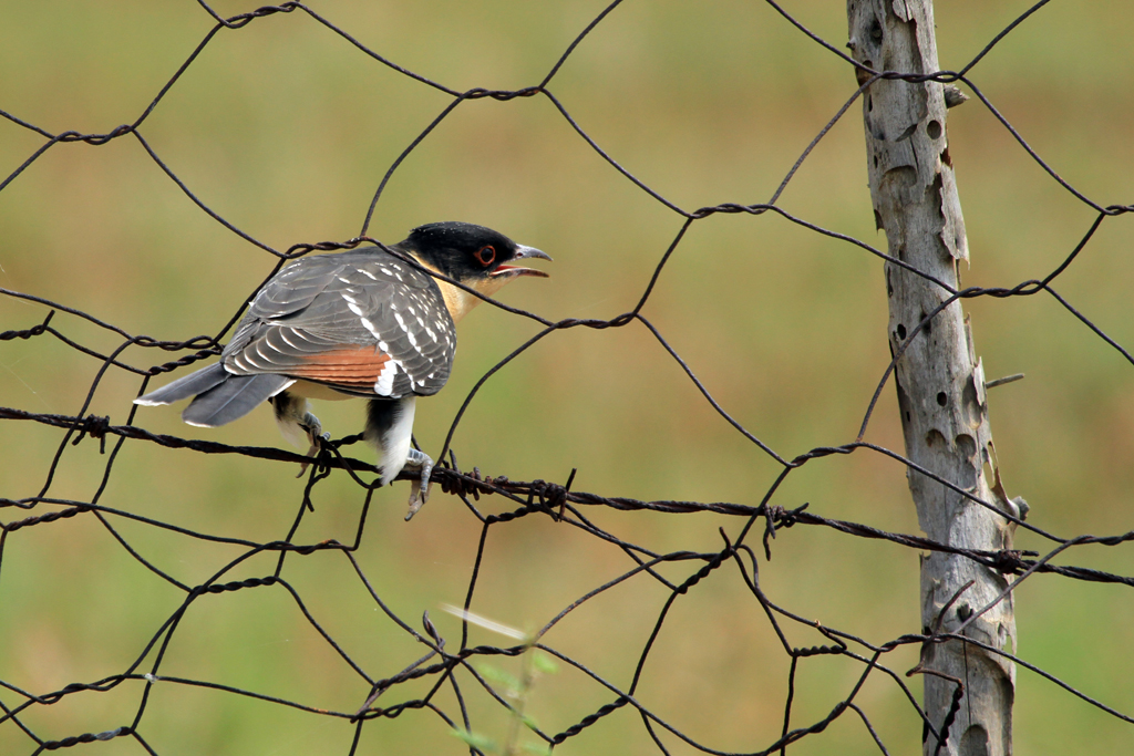Great Spotted Cuckoo / Kgomo Kgomo, South Africa / 10 February 2013