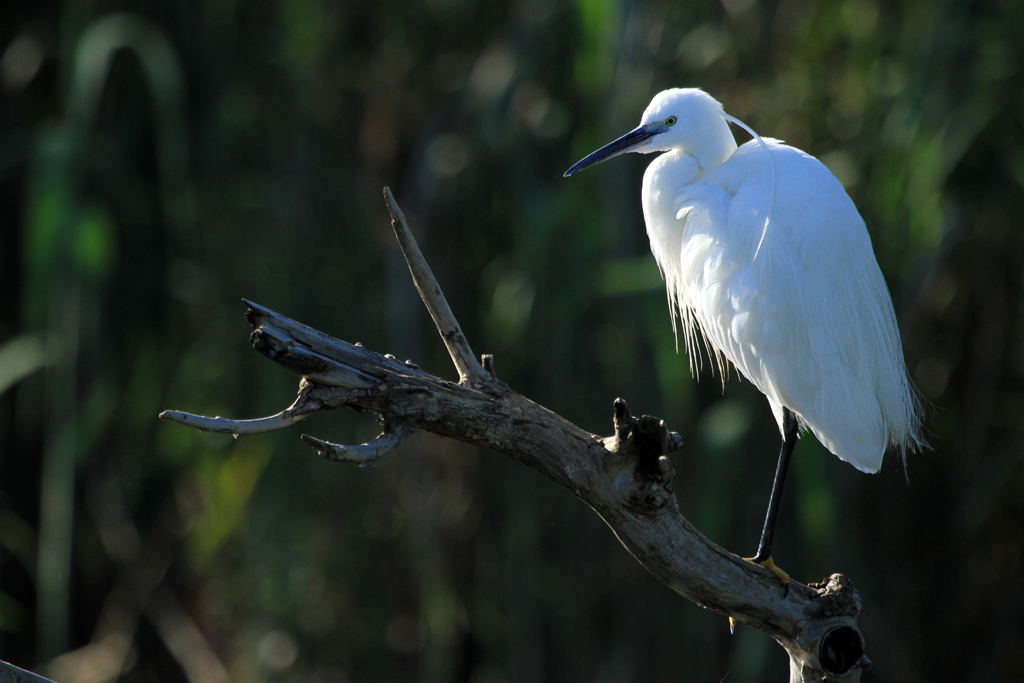 Little Egret / Rietvlei Nature Reserve, South Africa / 02 February 2013