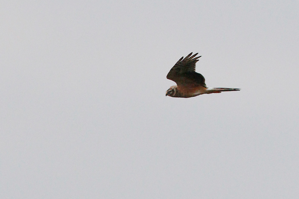 Pallid Harrier / Devon Farmlands, South Africa / January 2016