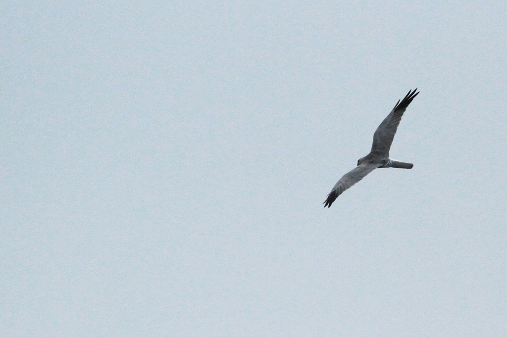Pallid Harrier – adult male / Devon, South Africa / 26 January 2013