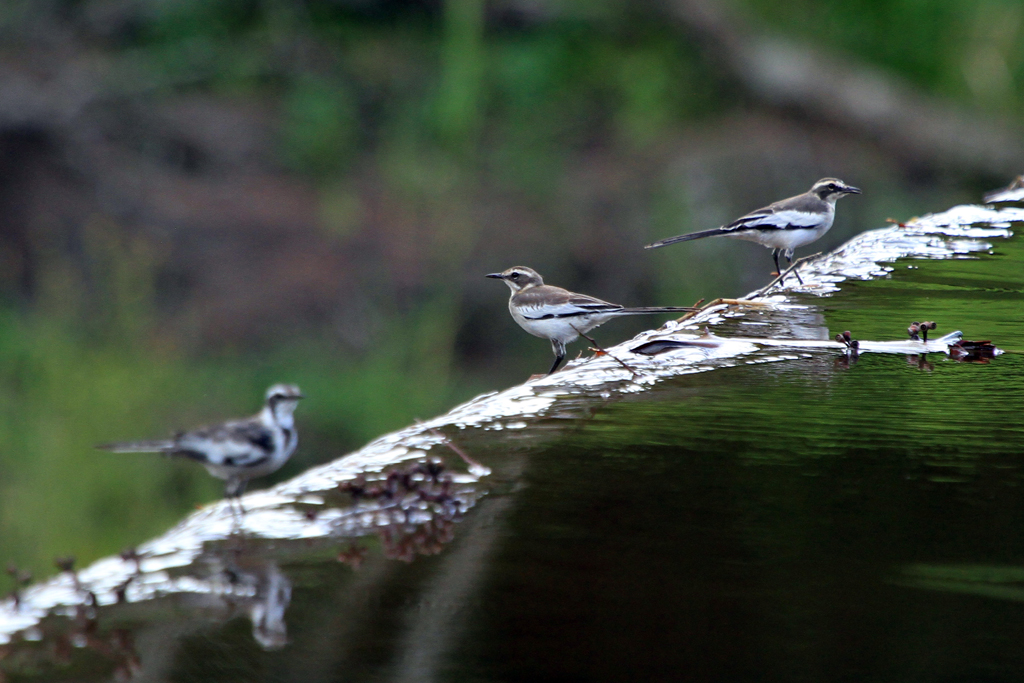 Pied Wagtail / Luvuvhu River, Soutpansberg, South Africa