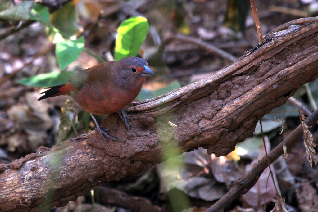African Firefinch / Pafuri Wilderness Camp, Northern Kruger National Park, South Africa / 23 June 2012