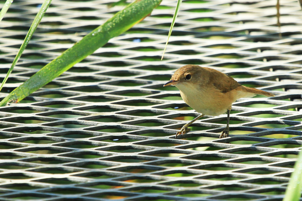 African Reed Warbler / Jacana Hide, Nylsvley Nature Reserve, South Africa / 23 February 2013