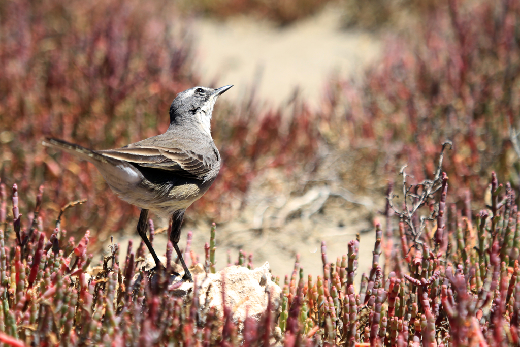 Cape Wagtail / West Coast National Park, South Africa / 16 February 2013
