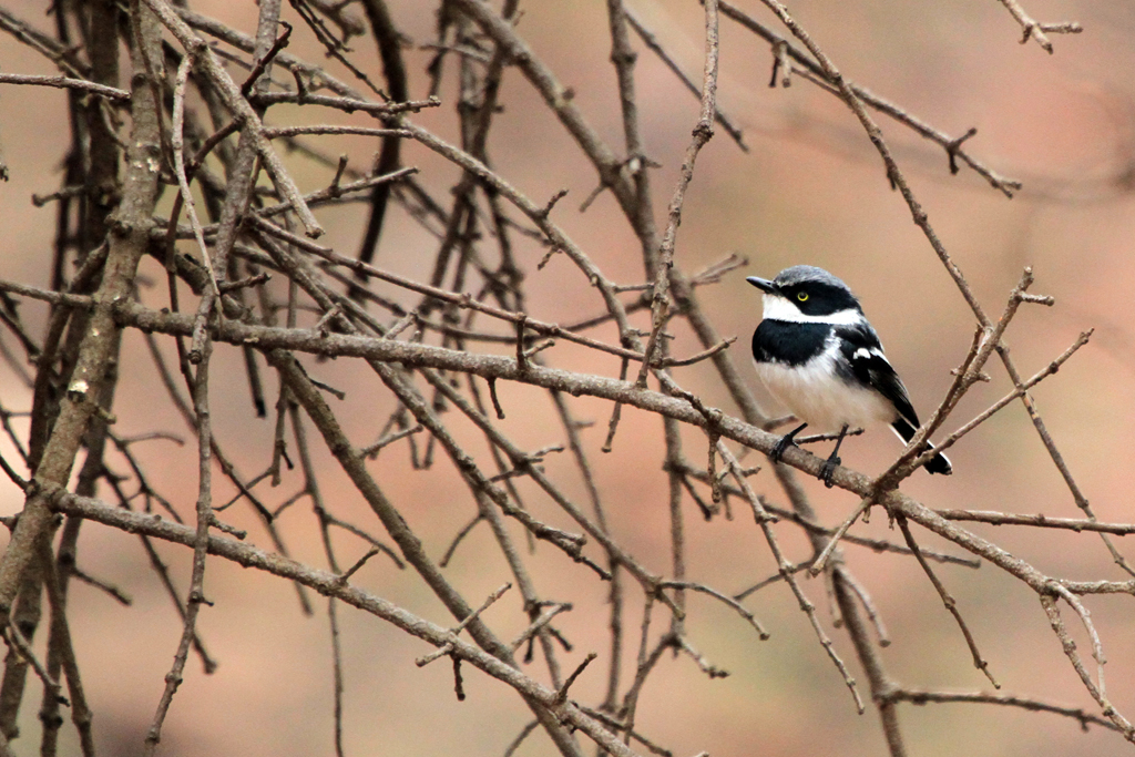 Chinspot Batis – male / Mabusa National Park, South Africa / 14 September 2012
