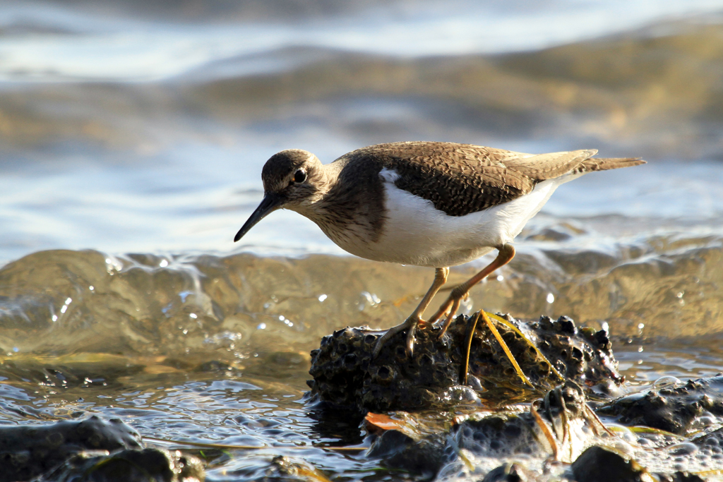 Common Sandpiper / Bluewater Bay, Port Elizabeth, South Africa / 06 March 2013