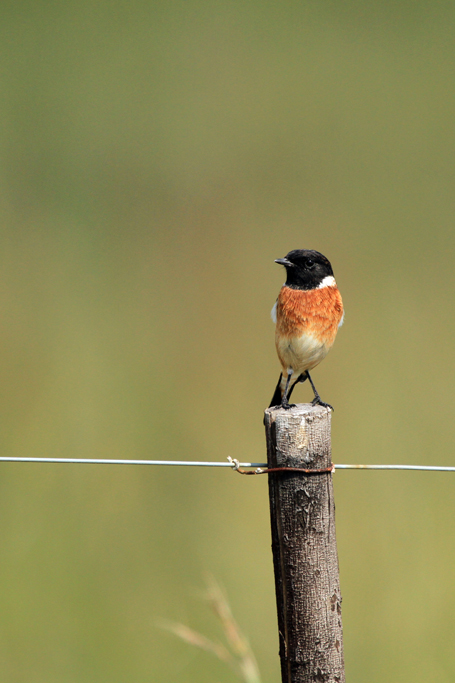 Common Stonechat / Devon, South Africa / 09 March 2013