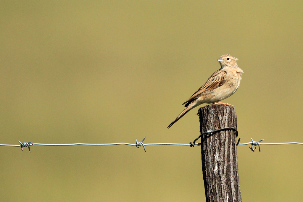 Lark-like Bunting / Devon, South Africa / 09 March 2013