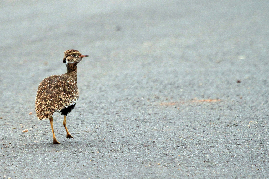 Northern Black Korhaan – female / Rietvlei Nature Reserve, South Africa / 02 March 2013