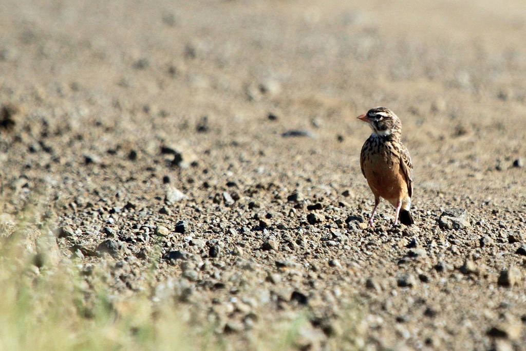 Pink-billed Lark / Devon, South Africa / 09 March 2013