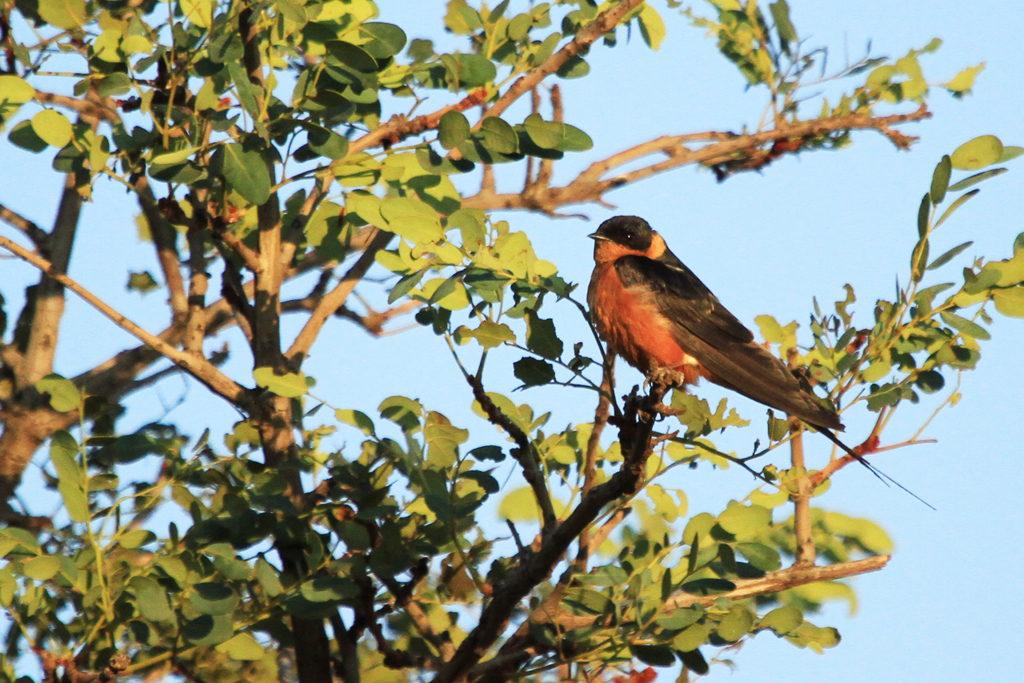 Red-breasted Swallow / Vlaklaagte Roadside Routes, South Africa / 16 March 2013 2