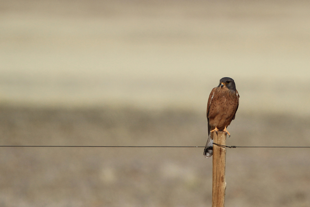 Rock Kestrel / Aus, Southern Namibia / 05 July 2012