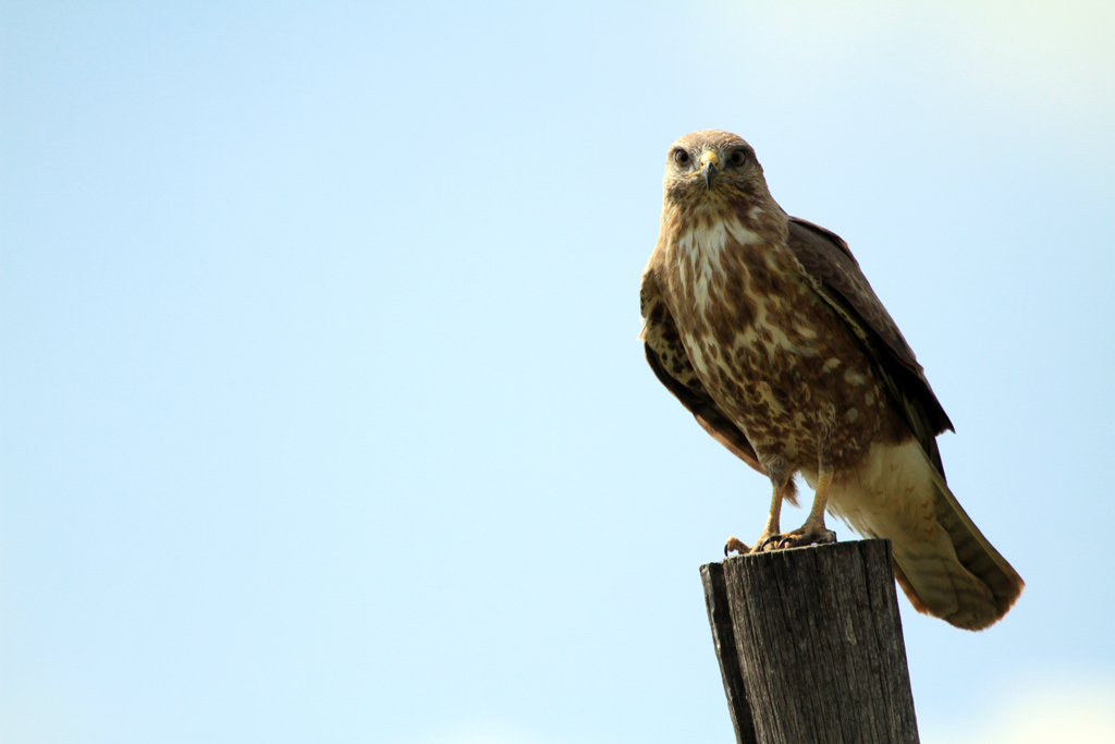 Steppe Buzzard / Devon, South Africa / 09 March 2013