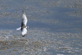 White-winged Tern / Devon, South Africa / 09 March 2013