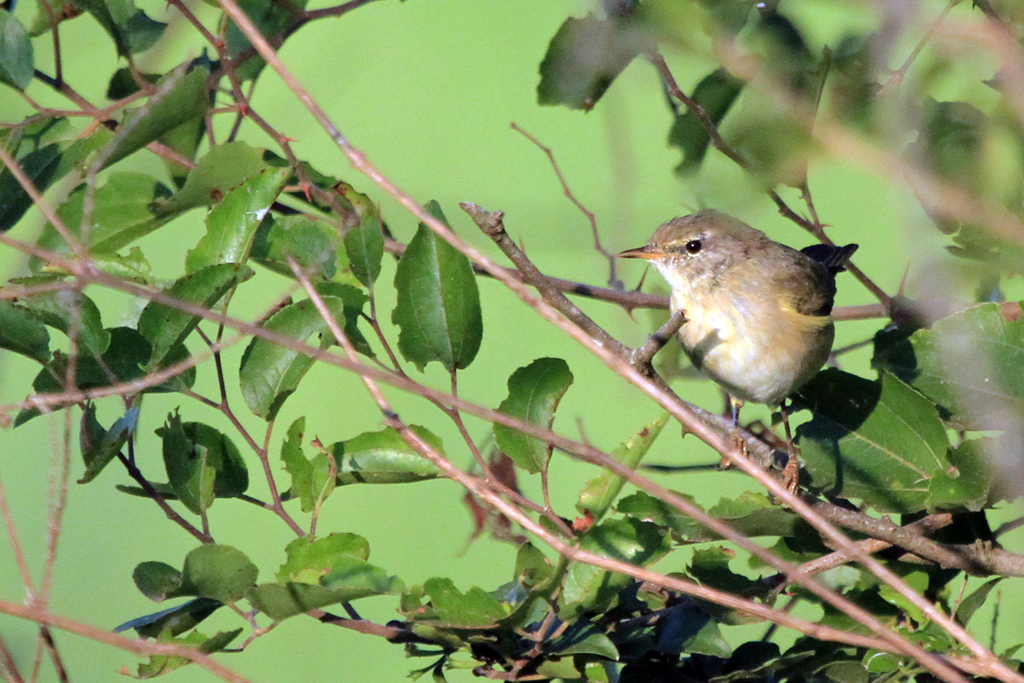 Willow Warbler / Vogelfontein, Nylsvley, South Africa / 24 February 2013