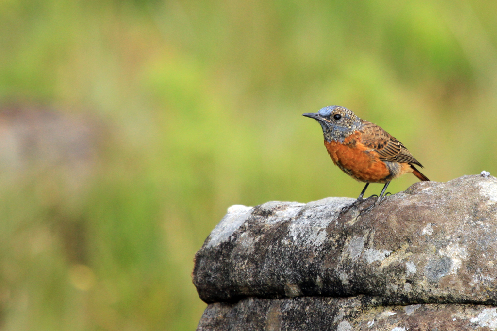 Cape Rock Thrush / Giants Castle, Drakensberg, South Africa / 29 March 2013