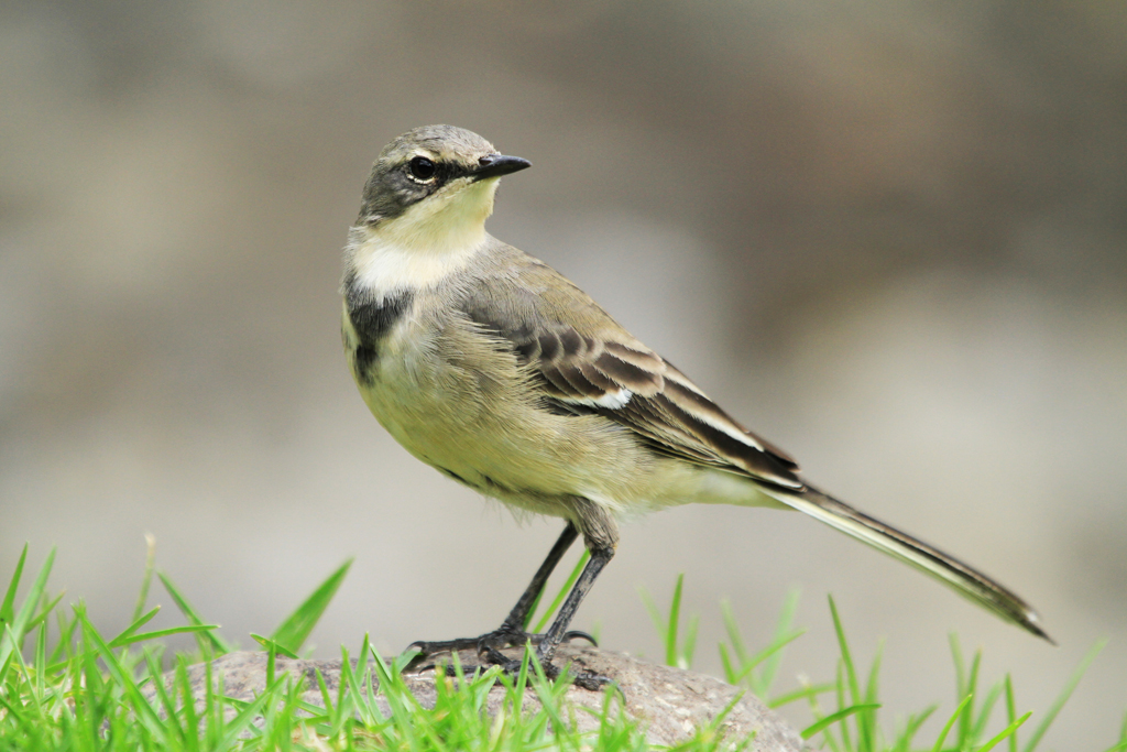 Cape Wagtail / Giants Castle, Drakensberg, South Africa / 29 March 2013