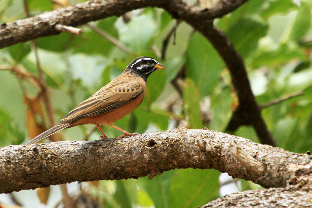 Cinnamon-breasted Bunting / Zaagkuildrift to Kgomo Kgomo, South Africa