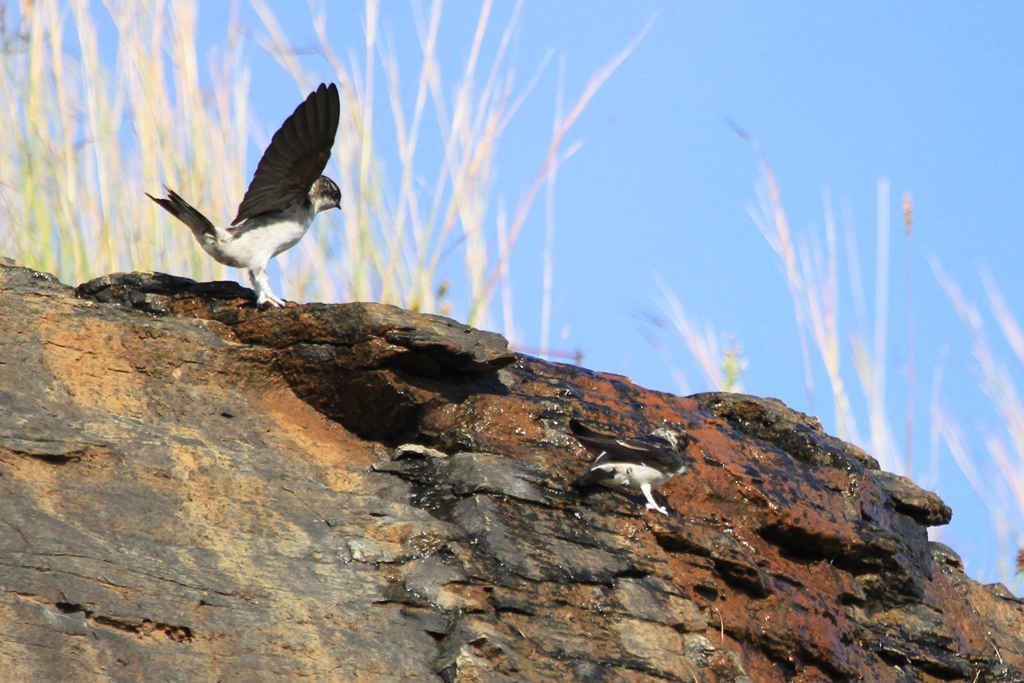Common House Martin / Giants Castle, Drakensberg, South Africa / 28 March 2013