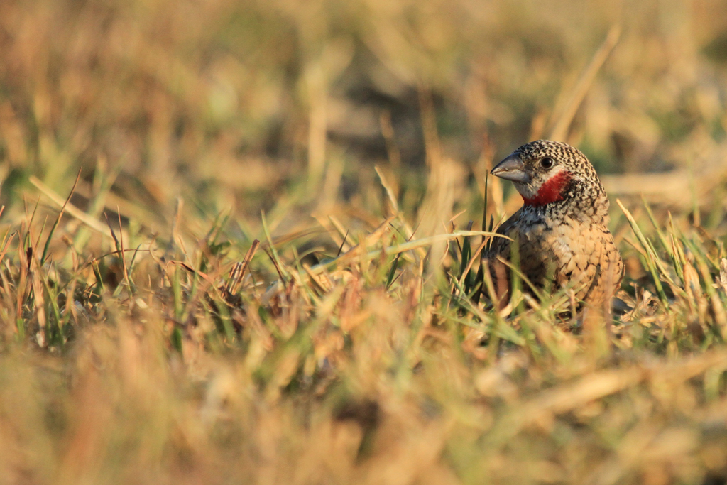 Cut-throat Finch – male / Kgomo Kgomo, South Africa / 23 March 2013