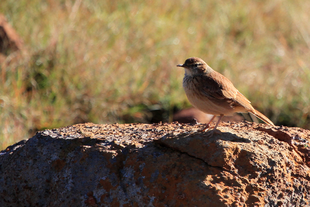 Eastern Long-billed Lark / Suikerbosrand Nature Reserve, South Africa / 21 April 2013