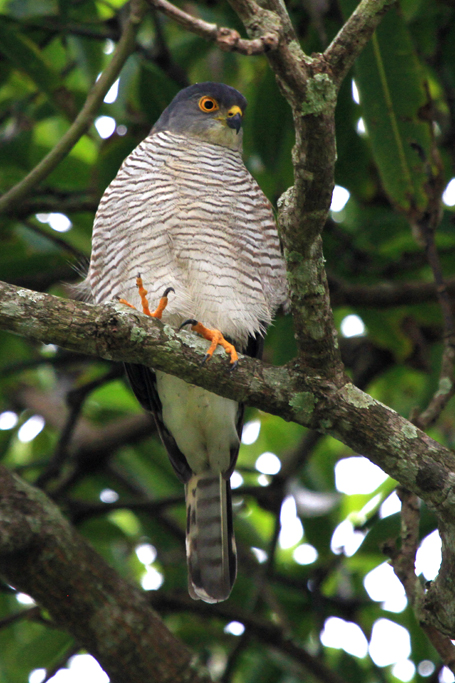 Little Sparrowhawk / Ocean View, South Africa / 12 April 2013
