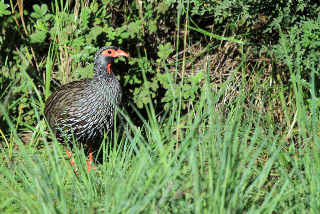 Red-necked Spurfowl / Giants Castle, Drakensberg, South Africa / 29 March 2013