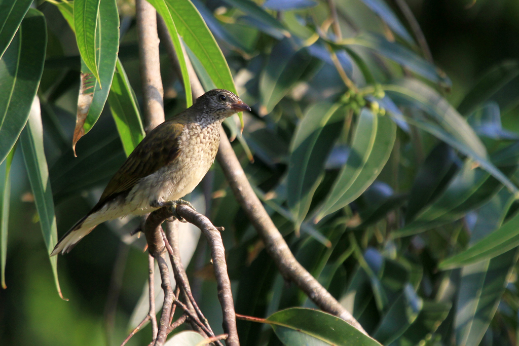 Scaly-throated Honeyguide / Ocean View, South Coast, KwaZulu Natal, South Africa / 13 April 2013