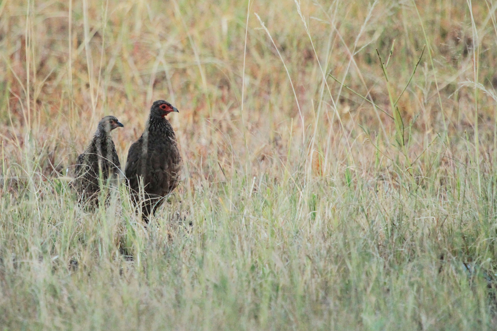 Swainson's Spurfowl / Kgomo Kgomo, South Africa / 23 March 2013