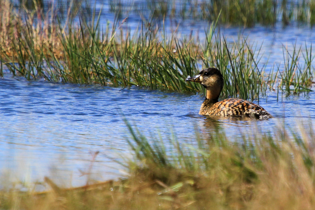 White-backed Duck / Suikerbosrand Nature Reserve, South Africa / 21 April 2013